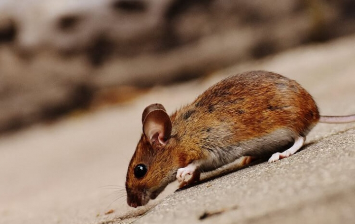 mouse on a roof