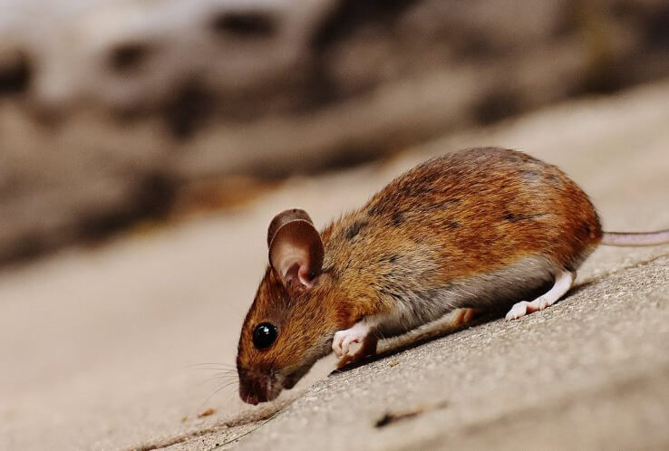 a mouse exploring on a roof