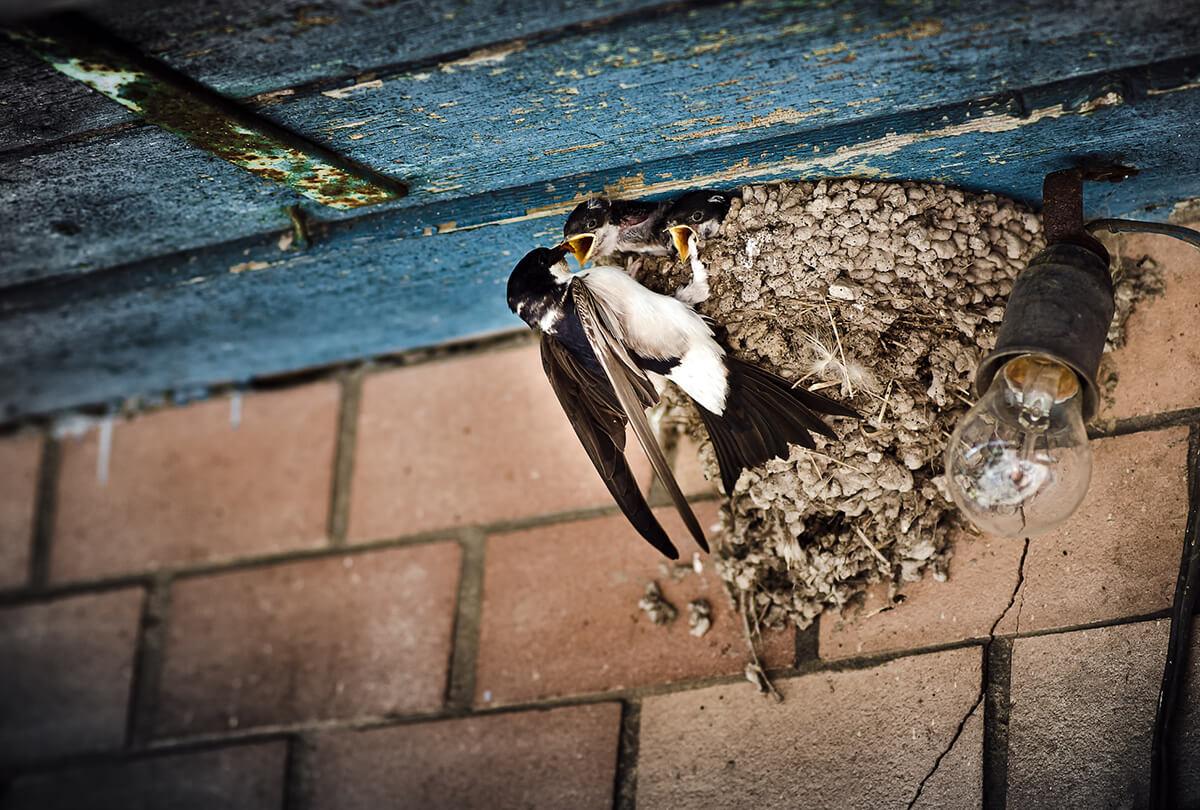 bird nest under eaves