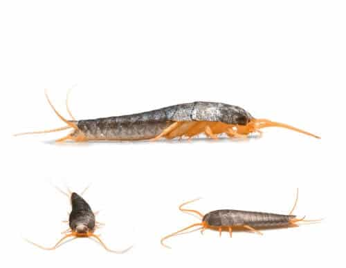 collage of 3 silverfish