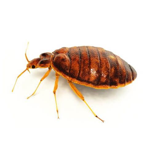 bed bug on white background