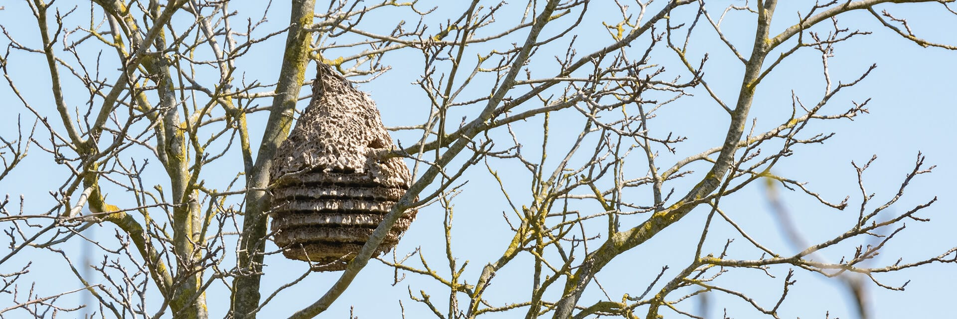 Wasp nest at forest in the spring