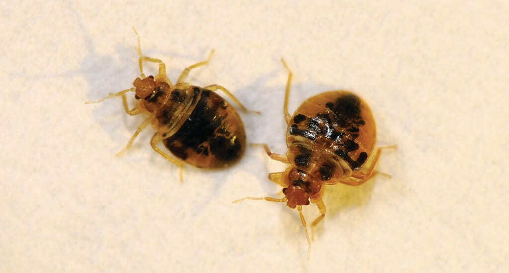 close up on two bed bug nymhs