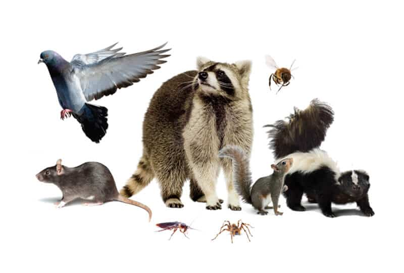 Wildlife pests including rodents, racoon, skunk, squirrels, spider and birds